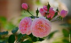 Domingo-rosa