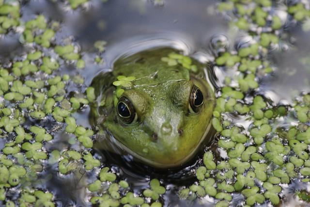 IMG_0165 Frog