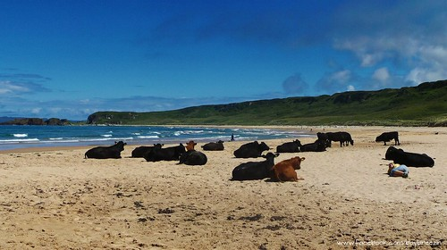 Sunbathing cows at Whitepark Bay on Northern Ireland's beautiful north coast!
