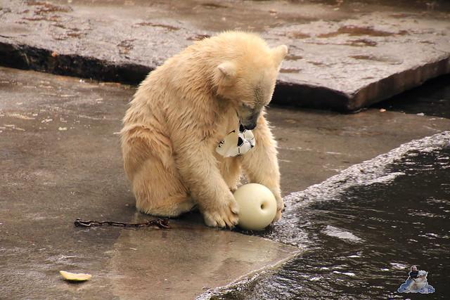 Eisbär Fiete im Zoo Rostock 06.09.2015  0100