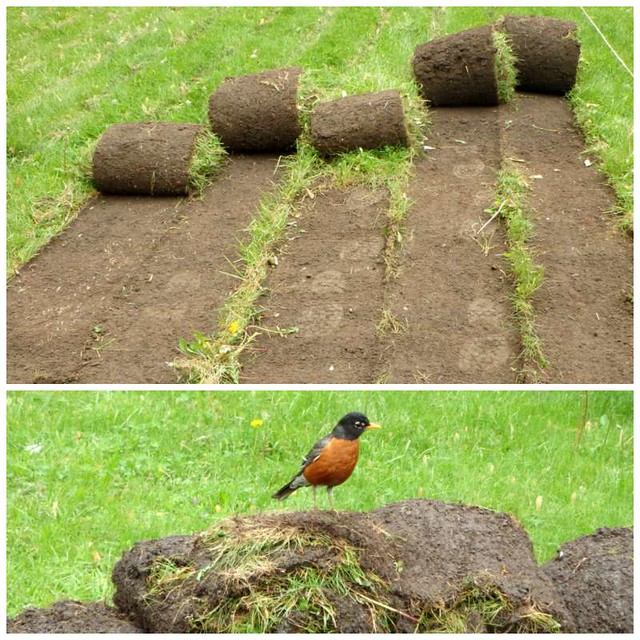 rolls of sod, and a robin sitting on a roll of sod