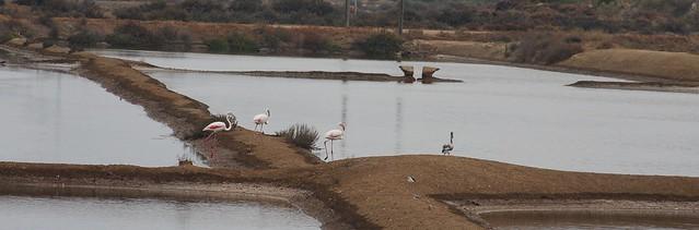 Flamingos nas salinas