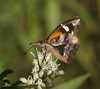 American Snout Butterfly_2
