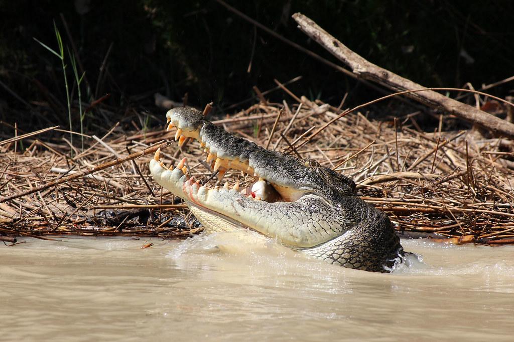 krokodille i Australien
