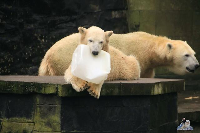 Eisbär Fiete im Zoo Rostock 17.10.2015  03