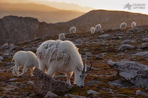 sunset sky mountain mountains nature landscape colorado goats alpine rockymountains fourteener mountaingoat allrightsreserved mountevans coloradocaptures mikeberenson copyright2015bymikeberenson