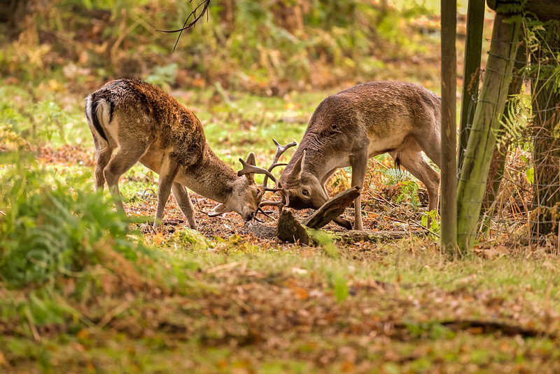 Young Fallow Stags Battling