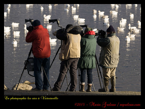 On photographie les oies à Victoriaville