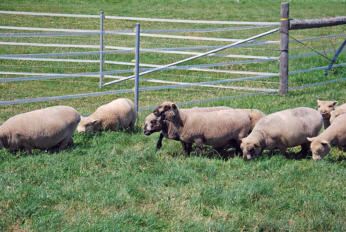 Babydoll Southdown flock Laurie's Little Lambs Louth Ontario Canada