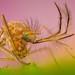 männliche Mücke by epioxi