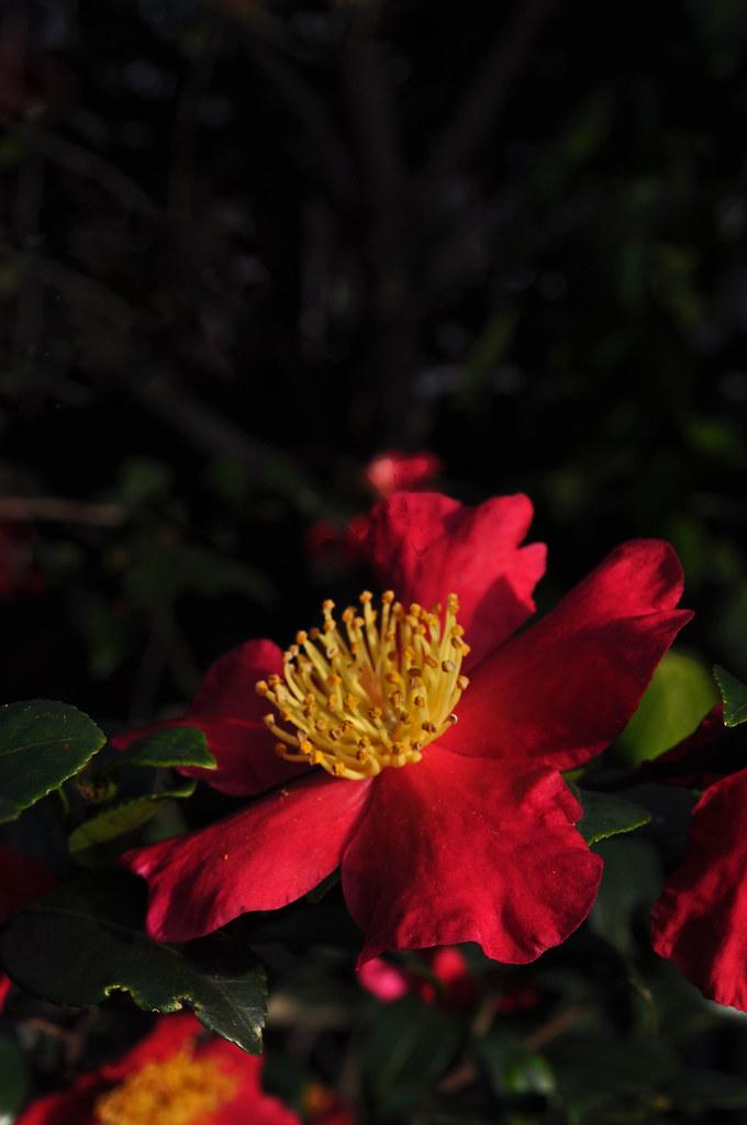 Camellia sasanqua 'Yuletide' (2)