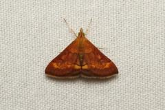 Pyrausta rubricalis (Variable Reddish Pyrausta Moth) Hodges # 5051 - WA, USA