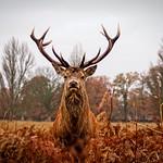 Deer of Bushy Park