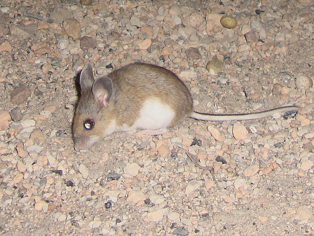 deer mouse 3 crop