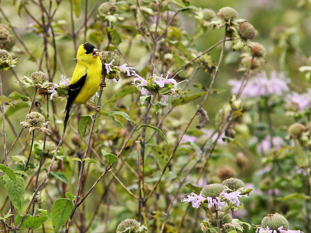 American Goldfinch singing 20150826