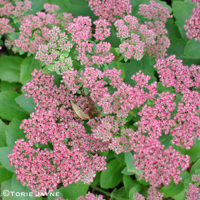 Sedum 'Autumn Joy' in my garden