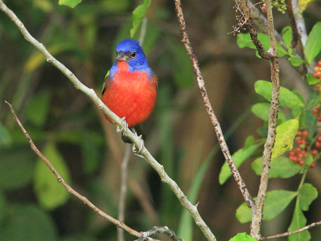 Painted Bunting 2-20151102