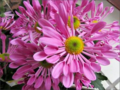 Pink Spoon Mums, first look