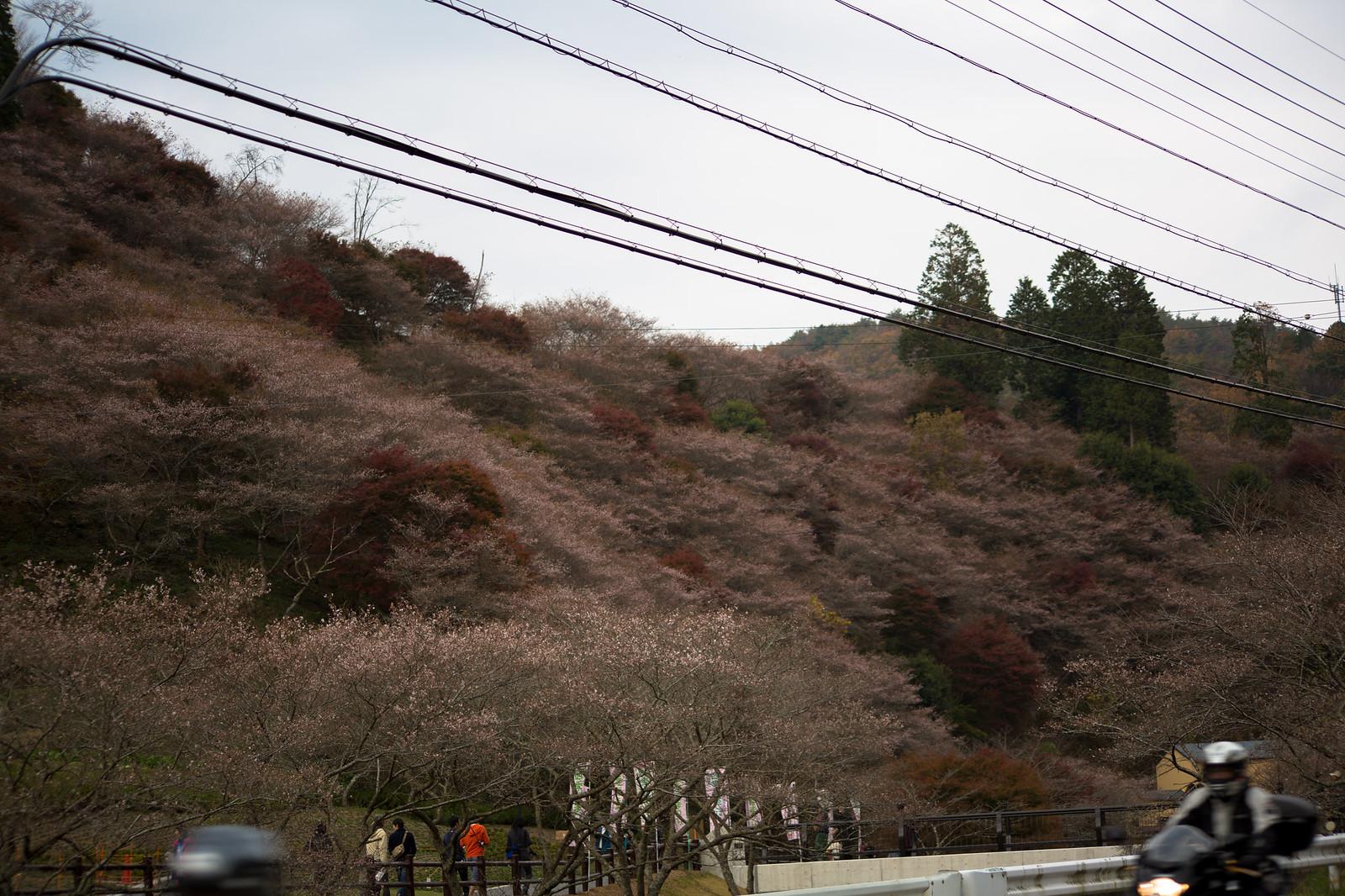 川見四季桜の郷