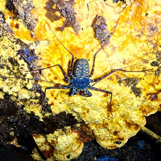 Whip Scorpion | by 24thcentury