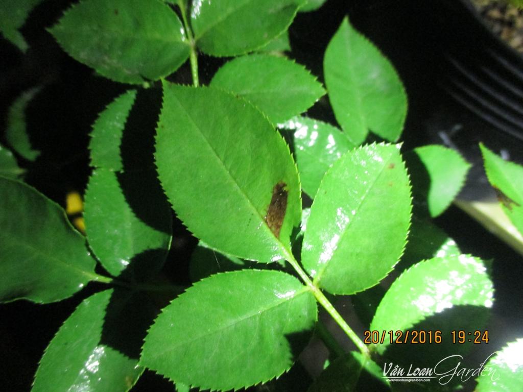 xanthomonas roses+Bacterial Leaf Spot Disease (3)-vuonhongvanloan.com