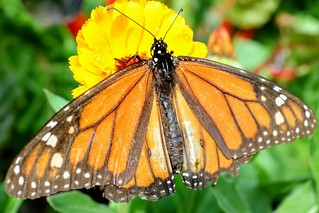 Image of Botanical Gardens. monarch butterfly nola botanical garden orange yellow flower neworleans