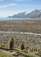King Penguin Colony at St. Andrew's Bay, South Georgia