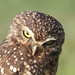 Small photo of Unhappy owl