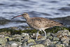 Whimbrel by shimmer5641