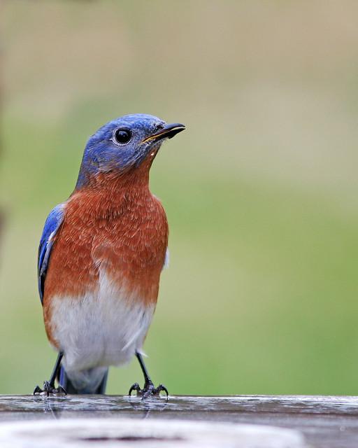 Eastern Blue Bird 20d_3209