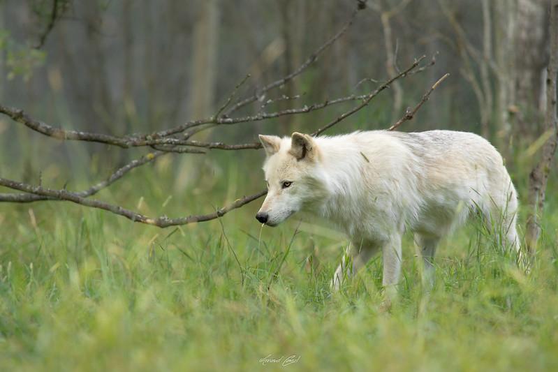 La louve