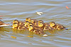 Mallard Ducklings 15-0508-1907 by digitalmarbles