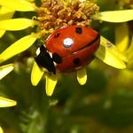 Ladybird in Summer