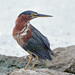 Green Heron by asparks306