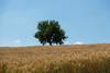 Alberi e grano by Luigi Coccia Photography