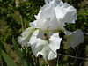 1P 767 White Iris and bee