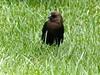 Brown-headed Cowbird, male by manzanita-pct