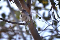 Mistletoebird   ( Female )