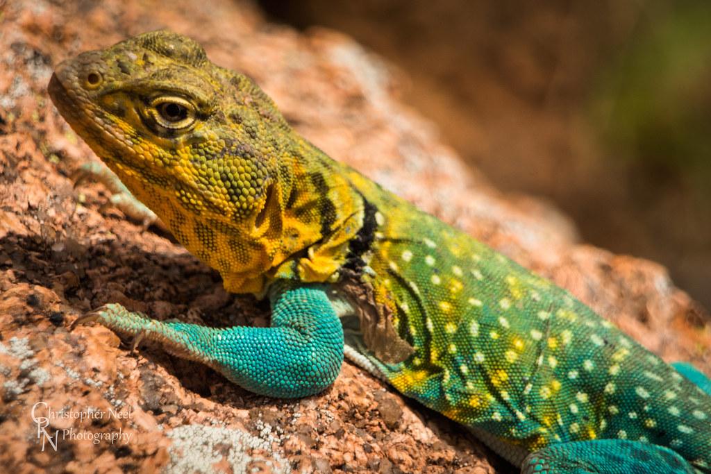 Collard Lizard at Wichita Mountains NWR, OK - 20150614CRN