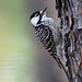 Red-cockaded Woodpecker (Picoides borealis), NC Sandhills Game Lands by Will Stuart