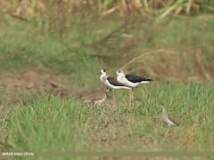 Black-winged Stilt (Himantopus himantopus) & White-tailed Lapwing (Vanellus leucurus)