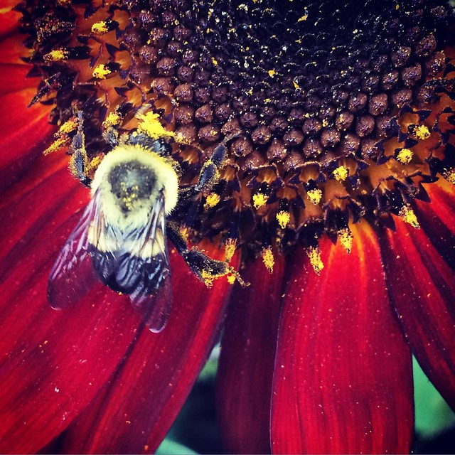 Bumblebee and Sunflower #bees #bumblebees #sunflowers #flowers #patiogardens