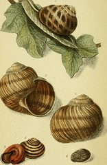 """Image from page 7 of """"The edible mollusks of Great Britain and Ireland, with recipes for cooking them"""" (1867)"""