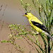 American Goldfinch by jt893x