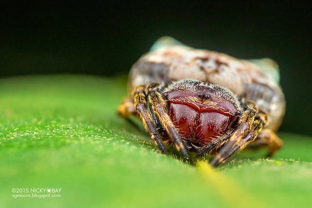 Crab orb weaver (Aspidolasius branick) - DSC_4311