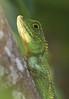Okinawan Tree Lizard. by okiox