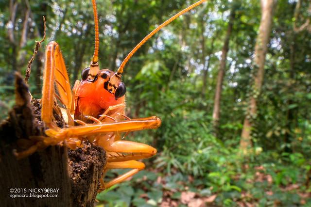Cricket (Gryllidae) - DSC_5442b