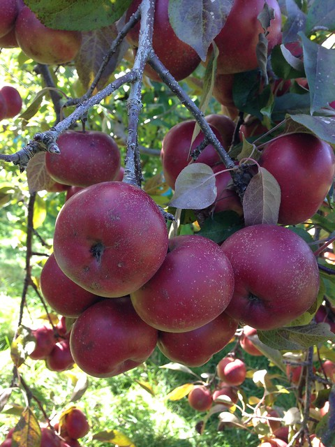 Heirloom Apple Picking