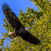 American Bald Eagle by jt893x