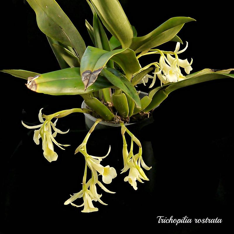 Trichopilia rostrata - Seite 2 22623477267_4c95c2b784_c